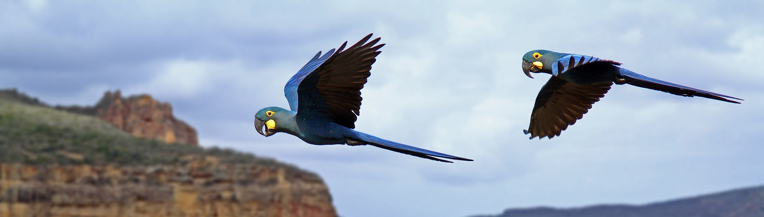araras-azuis-de-lear