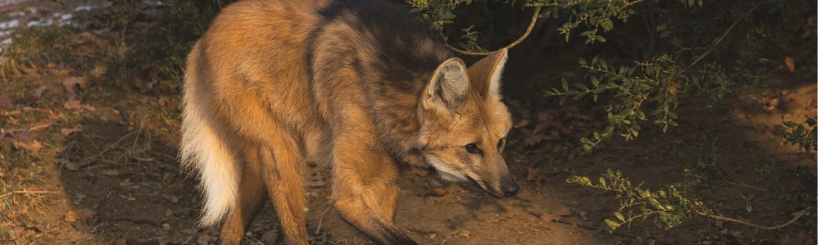 Você sabe o valor do lobo-guará?